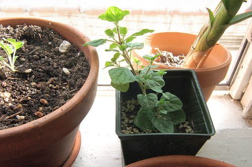 grow oregano indoors