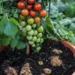 What is a Pomato Plant and How to Grow It