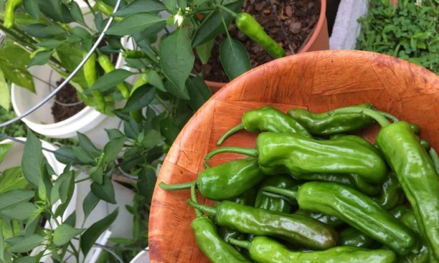 How to Grow Shishito Peppers