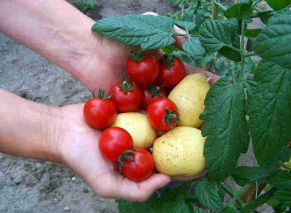 tomato and potato plant