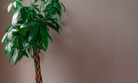 How to Care for a Money Tree