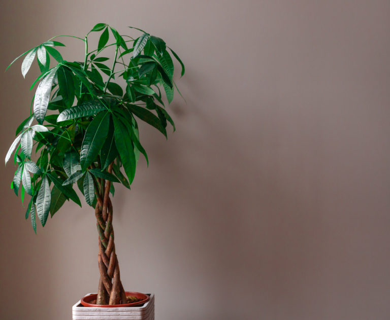 How to Care for a Money Tree - Plant Instructions