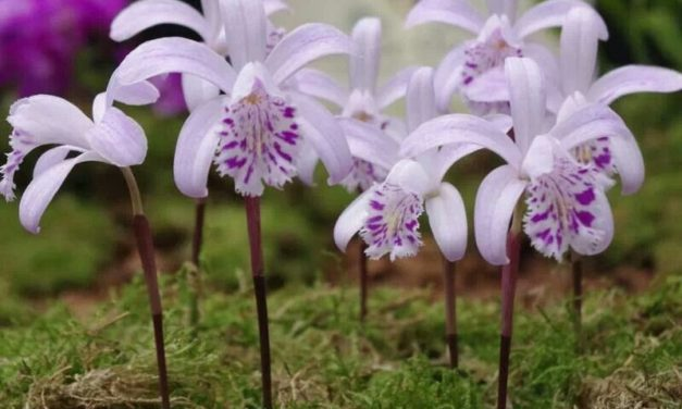 How to Grow Pleione Orchids